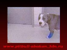 http://pitbull-abakan.3dn.ru/_bl/0/18093193.png