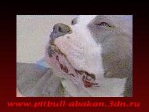 http://pitbull-abakan.3dn.ru/_bl/0/32328678.png