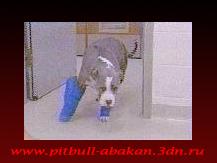 http://pitbull-abakan.3dn.ru/_bl/0/44272110.png
